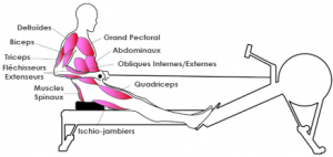 Muscles et rameur